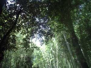 嵯峨野地区にて。竹林は有名である。
