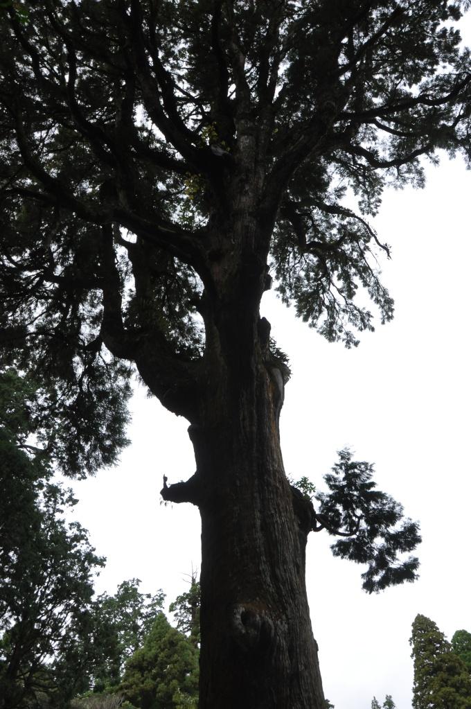 霧島神宮の御神木